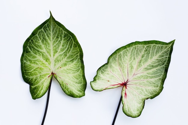 Caladium leaves on white. top view