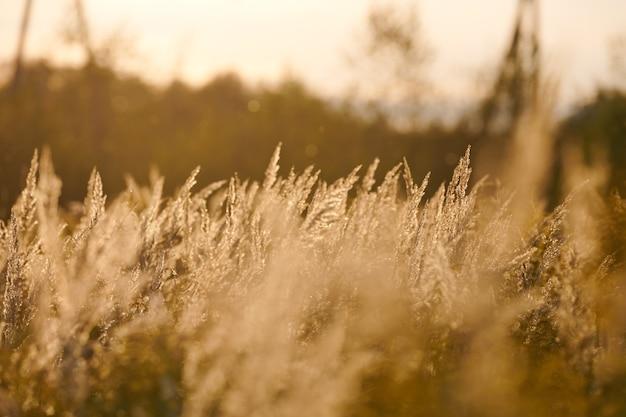 Calamagrostis epigejos кустарник. лесная тростниковая трава в поле. красивый солнечный пейзаж, летний фон.