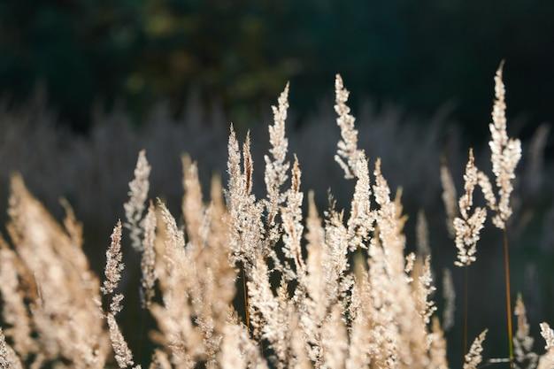 Calamagrostis epigejos кустарник. лесная тростниковая трава в поле.