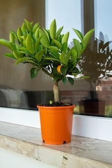 植木鉢のカラマンシー柑橘類の木カラモンディンはフィリピンのライムまたはレモンとしても知られ、主にフィリピンで栽培されている柑橘類のハイブリッドです