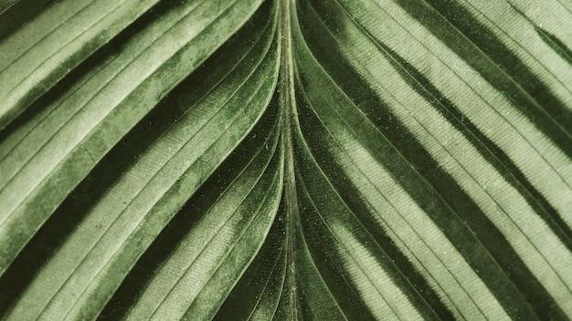 カラテアの葉の背景をクローズアップ