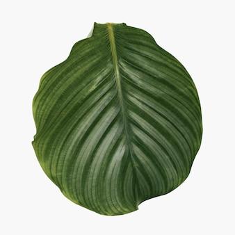 Лист калатеи из комнатного растения