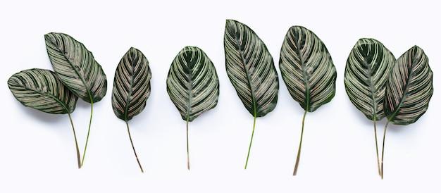 Calathea leaves on white surface