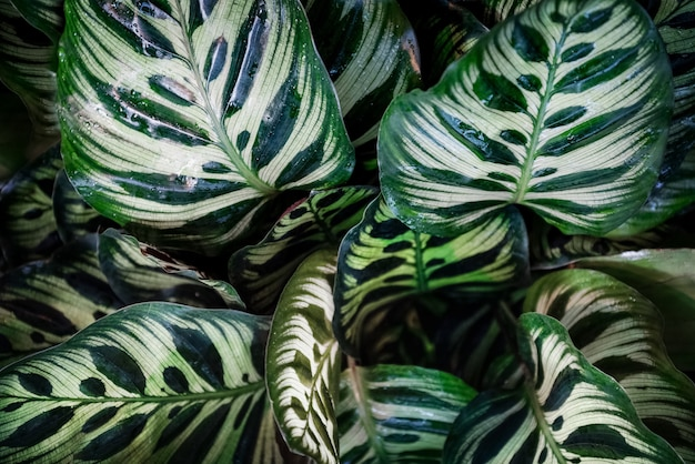 Calathea makoyana pattern green leaves natural