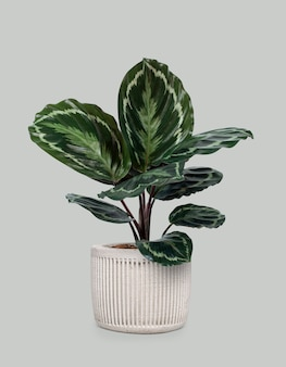 白い鍋にカラテアメダリオン植物