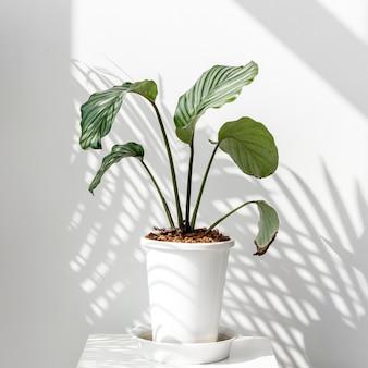 白い壁のカラテアorbifolia