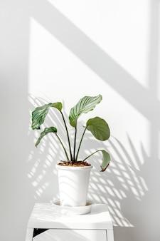흰 벽 옆에 있는 calathea orbifolia