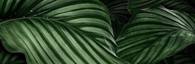 Calathea orbifolia green natural leaves background