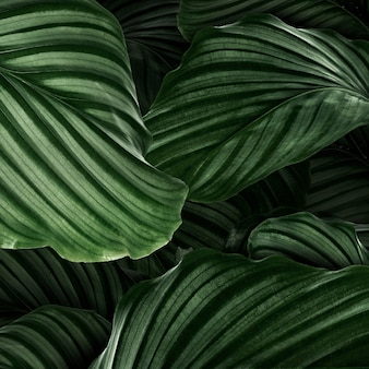 Calathea orbifolia green natural leaves background