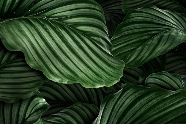 Calathea orbifolia green natural leaves