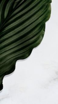 Calathea orbifolia leaf on texture background