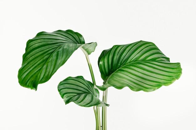 Calathea orbifolia 잎 배경에 고립