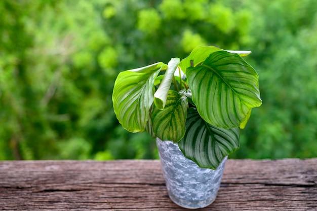 Calathea orbifolia plant in pot on wooden table