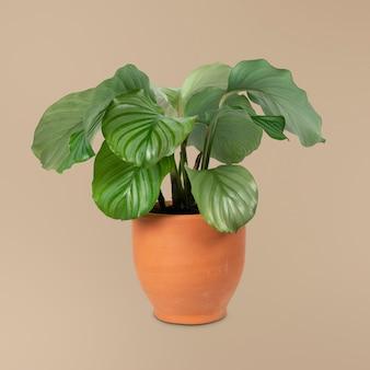 Calathea orbifolia plant in a terracotta pot home decor object