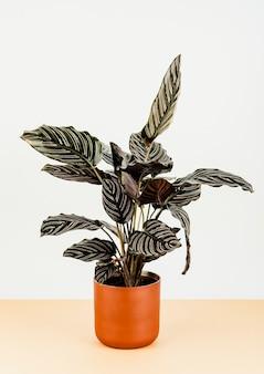 오렌지 화분에 있는 calathea ornata sanderiana