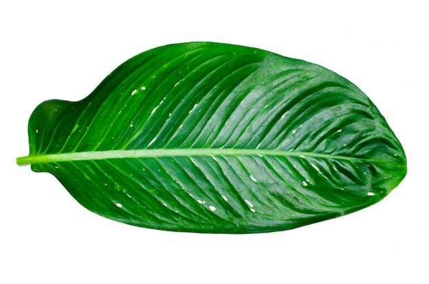 Calathea ornataピンストライプの背景の葉