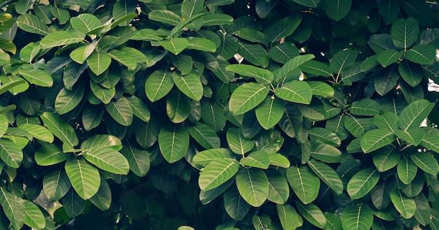 Calathea ornataピンストライプバックグラウンドブルーの葉