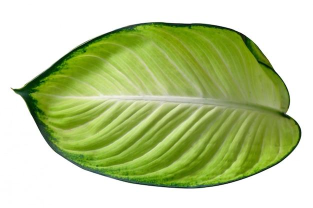 葉calathea ornataピンストライプの背景白の分離
