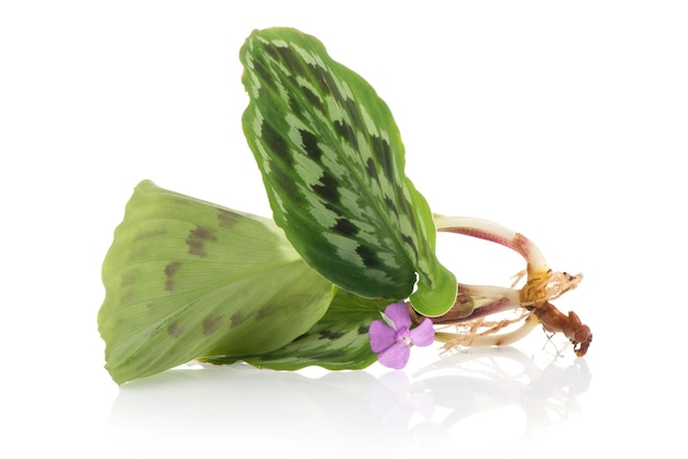 Calathea picturata 꽃과 나무 흰색 배경에 고립.
