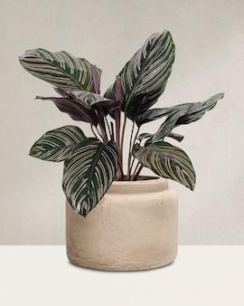 鍋の中のカラテア植物