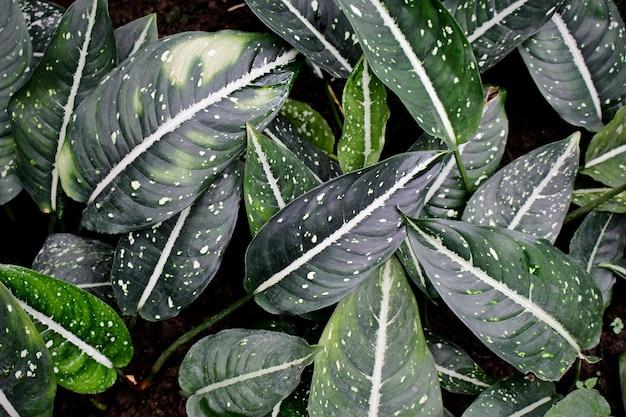 Calathea 식물 잎