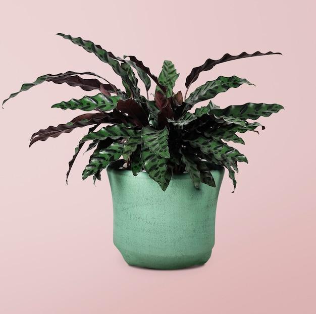 Pianta di calathea in vaso