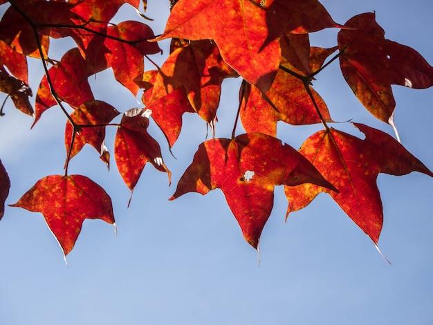 野生生物と植物フールアン、ルーイ、タイで赤いカエデの葉。秋のエイサーcalcaratumまたはアジアのカエデ種は雲南省とインドシナ北部で発見されたアジアのカエデ種です。