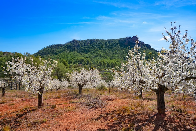 Calderona mountain cherry blossom in valencia