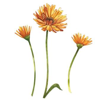 Calendula or daisy flower. watercolor botanical illustration.