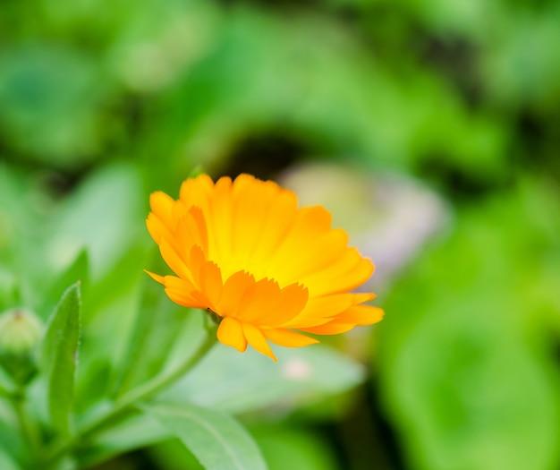 Цветок календулы в саду крупным планом
