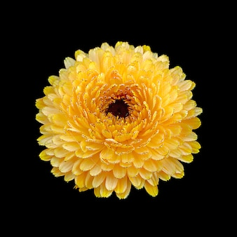 Calendula flower isolated