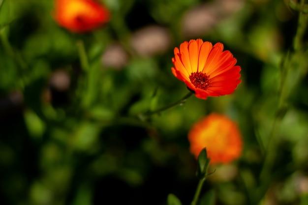 Calendula flower on a summer day medicinal flower herbs for tea or oil
