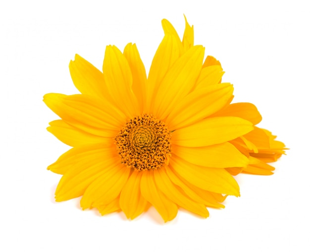 Calendula flowers isolated  marigold flower medicinal herbs.
