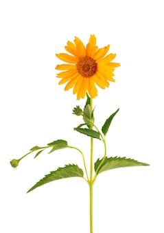 금잔화 꽃 흰색 배경에 고립 된 금잔화 꽃 약초 식물