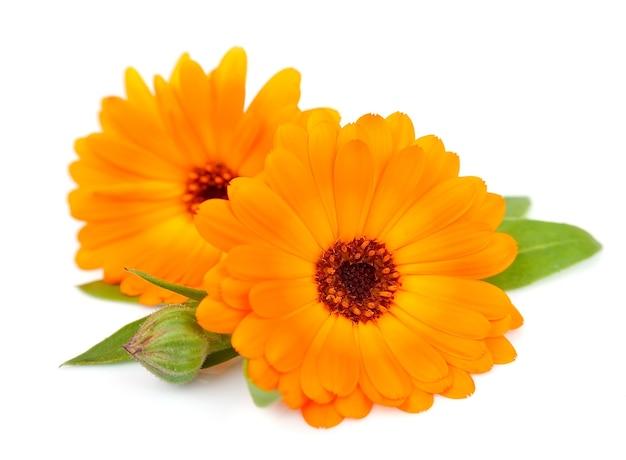Цветки календулы, изолированные на белом фоне
