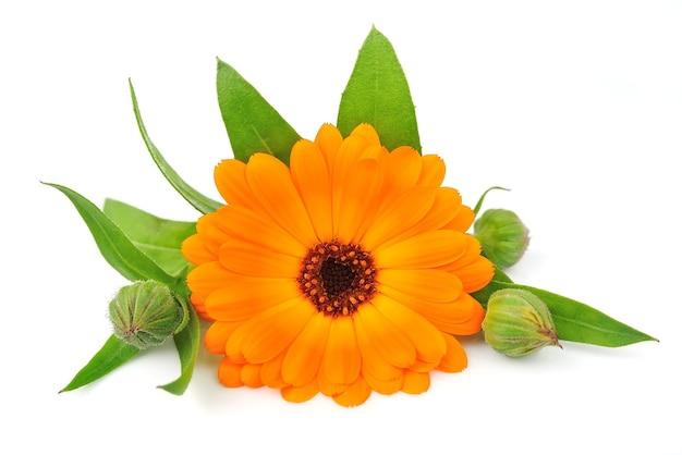 Цветки календулы на белом фоне