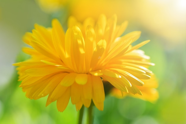 カレンデュラ。晴れた日に大きな黄色のキンセンカの花。