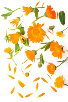 Calendula. marigold flower isolated on white background with copy space for your text.