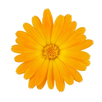 Calendula or marigold flower isolated