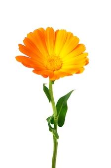흰색에 고립 된 잎 금송화 메리 골드 꽃