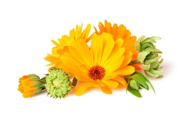 금송화, 약용 식물, 흰색으로 분리된 잎과 씨앗이 있는 꽃