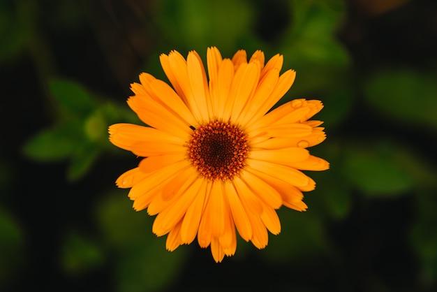 Цветок с листьями календулы (calendula officinalis, горшок, сад или английский календулы) на размытой зеленой природе. календула в солнечный летний день. закройте вверх лекарственной травы календулы.