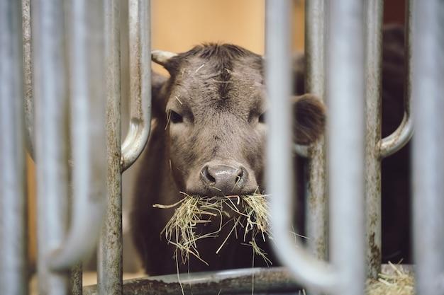 ふくらはぎで干し草を食べる子牛