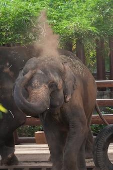 Calf elephant play dust