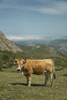 A calf in a field surrounded by mountains under the sunlight