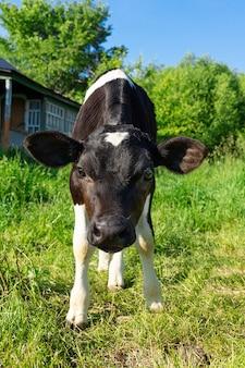 Calf on grass
