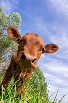 子牛は空に対して緑の牧草地でかすめる