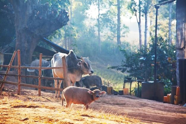 아시아 마을의 송아지. 농업 농업 농촌 목초지