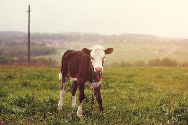Теленок стоит в поле. зеленая трава.