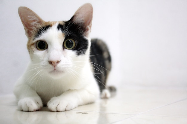 Calico cat : cat raise eyebrows and eyeball.